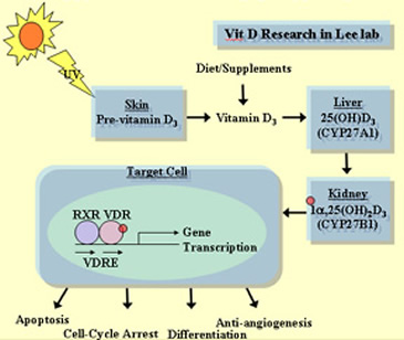 Vitamin D Receptor in Urology