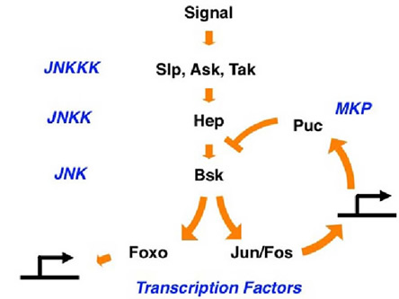 The JNK signaling pathway is a conserved MAP kinase system that regulates multiple cell functions including cell mobility, stress srtesponse and apoptosis.  Our research in Drosophila has identified a function of JNK in the controlling aging and longevity.