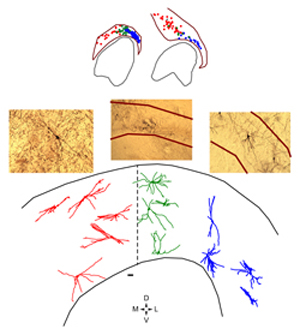 Illustration of neuronal tracings paired with histology slides