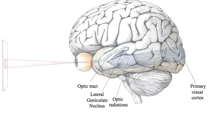 Illustration of a brain.