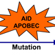 Role of AID/APOBEC mutagenesis in evolution of aggressive lymphoid malignancies