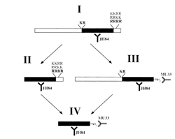 Diagram of proCGRP cleaving at two sites