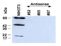 Antisense cell lines