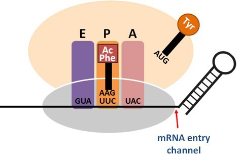 Regulation of Protein Synthesis by mRNA Structure - Research