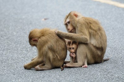 Social Behavior - Macaque