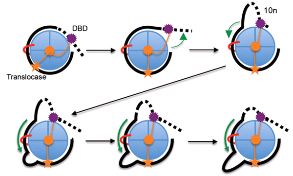 Mechanism of SWI/SNF and RSC remodeling