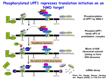 Illustration of Phosphorylated UPF1