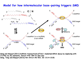 Illustration of Model for how intermolecualr base-pairing triggers SMD