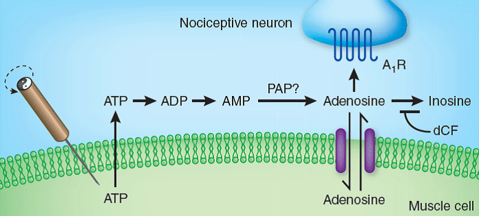 Schematic of acupunture induced analgesic pathway