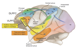 Functional Organization of Primate Prefrontal Cortex