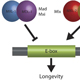 Integration of Longevity Signals by the Myc-family of Transcription Factors