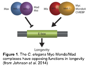 Figure 1. The C. elegans Myc-Mondo/Mad complexes have opposing functions in longevity (from Johnson et al. 2014)