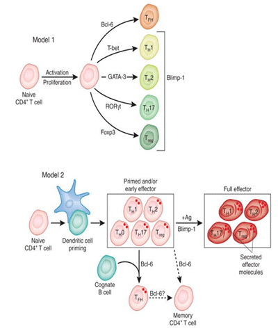 Models of the specificity and role of CD4 T Cells