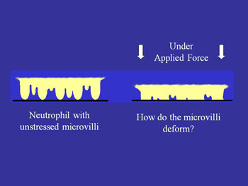 Unstressed microvilli v. microvilli when force is applied
