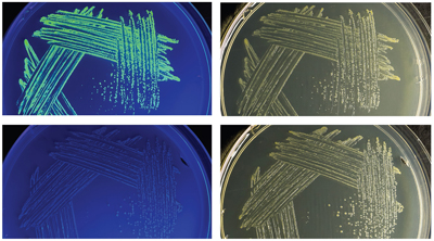 strains on petri dishes