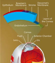 Illustration of structure of cornea