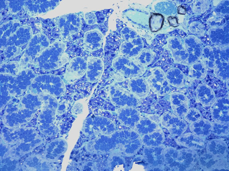 Toluidine Blue stained plastic 1micron section of a salivary gland