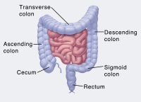 Illustration of intestinal tract, including colon