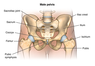 Anatomy of the male pelvis showing the sacroiliac joint, the sacrum, the coccyx, the femur, the pubic symphysis, the pubis, the ischium, the ilium, and the iliac crest