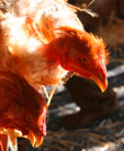 Study Suggests Vaccinating Against Bird Flu Before a Possible Pandemic