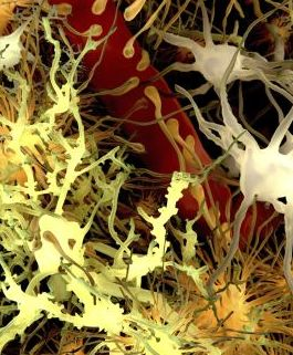Astrocytes Key to Potential Parkinson's Therapy