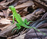 Cancer Biology, thanks to Green Lizards