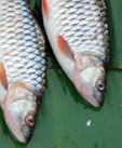 Fish Tale: Autism and Mercury Link Debunked