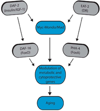 Figure 2: Figure 2. Model for Myc-Mondo/Mad transcription factors in longevity control (from Johnson et al. 2014).