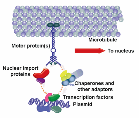 image of how plasmids utilize the microtubule network