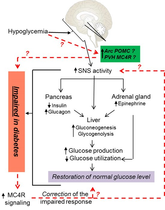 Role of the hypothalamic melanocortin system in hypoglycemia counterregulation