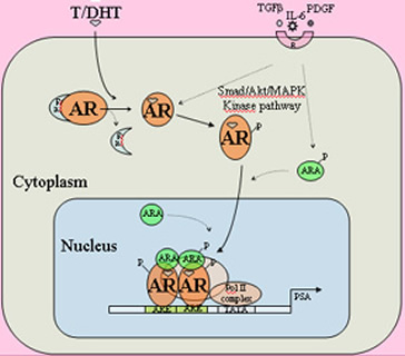 A-AR molecular mechanisms
