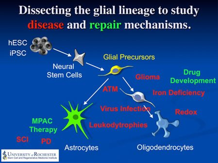 Glial lineage research to study disease and repair mechanisms