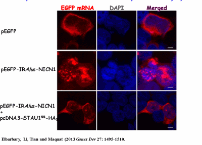 Images of mRNA treated with STAU1