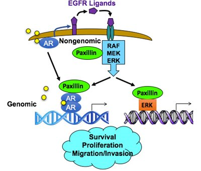 Paxillin mediates genomic and nongenomic androgen receptor and Erk signaling in prostate cancer to regulate important biological processes such as survival, proliferation, migration, and invasion