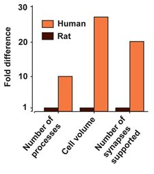 Graph of Human vs. Rodent Astrocytes