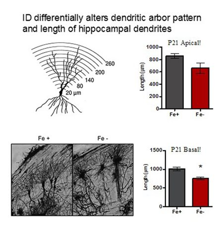 ID differntially alters dendritic arbor pattern and length of hippocampal dendrites
