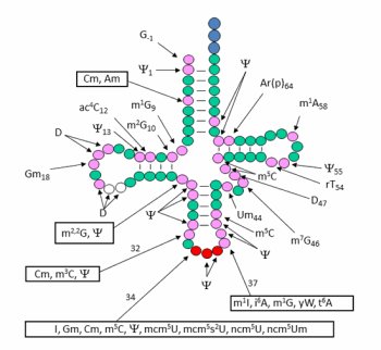 the biological roles of trna modifications projects phizicky lab