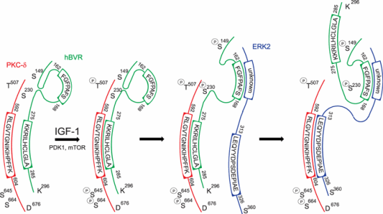 Proposed mechanism for hBVR, PKC-δ and ERK2 ternary complex formation