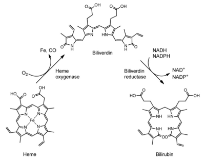 Illustration of Biliverdin Reductase