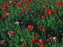 Poppies Far