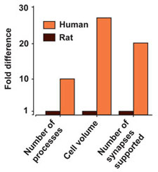 Human vs Rodent astrocytes. (Courtesy Alexi Verkhratsky (Chapter 3), Neuroglia by Kettenmann).