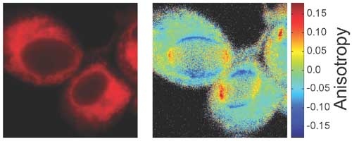 Confocal fluorescence intensity image (left) and anisotropy image (right) of the same region in a monolayer of EMT6 cells incubated with mTHPC.