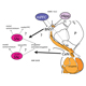 Dopamine and Stress: Circuits Through the Extended Amygdala