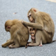 Image of monkeys grooming