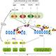 Lytic and Latent Replication of Gammaherpesviruses (EBV and KSHV)