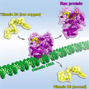 illustration of the Rex protein