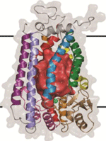 Molecular structure of the protein Ste24p.